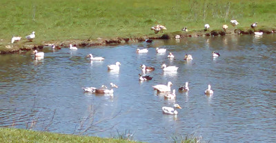 Ancona Ducks***Beautiful and Rare Breed of Waterfowl***